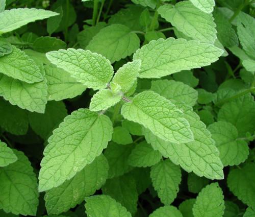 Produktbild Melissa officinalis var. altissima