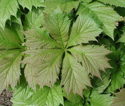 Produktbild Rodgersia podophylla 'Pagode'