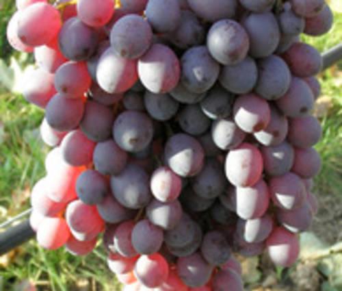 Produktbild Vitis vinifera 'Anja' ®