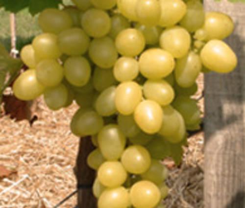 Produktbild Vitis vinifera 'Arkadia' ®