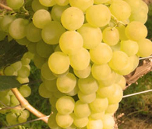 Produktbild Vitis vinifera 'Fanny' ®