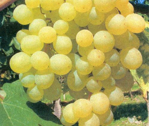 Produktbild Vitis vinifera 'Frumoasa Alba' ®
