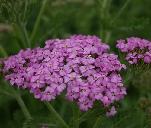 Produktbild Achillea Millefolium-Hybride 'Lilac Beauty'