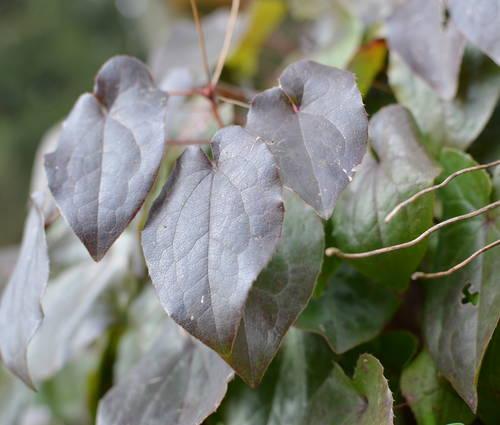Produktbild Epimedium pinnatum ssp. colchicum 'Black Sea'