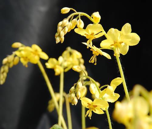 Produktbild Epimedium pinnatum ssp. colchicum