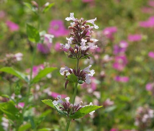 Produktbild Nepeta grandiflora 'Dawn to Dusk'