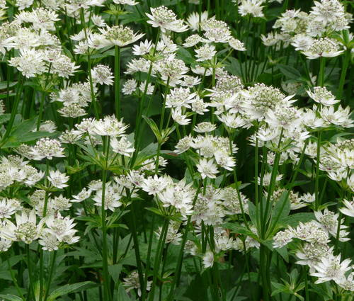 Produktbild Astrantia major 'Star of Billion' ®
