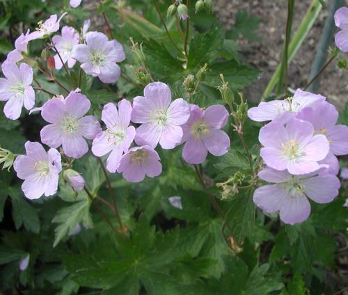 Produktbild Geranium maculatum 'Vickie Lynn'
