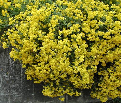 Produktbild Alyssum saxatile 'Compactum Goldkugel'
