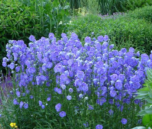 Produktbild Campanula persicifolia 'Blue Bloomers'