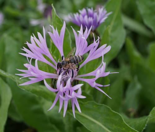 Produktbild Centaurea montana 'Carnea'