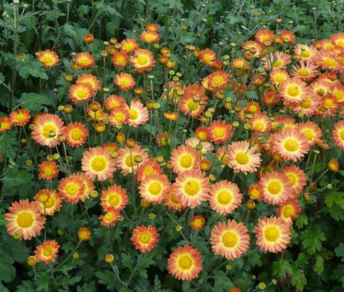 Produktbild Chrysanthemum Indicum-Hybride 'Dernier Soleil'