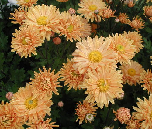 Produktbild Chrysanthemum Indicum-Hybride 'Kleiner Bernstein'