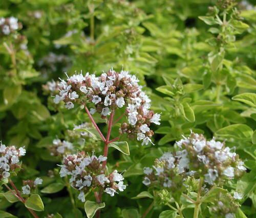 Produktbild Origanum vulgare 'Thumbles Variety'