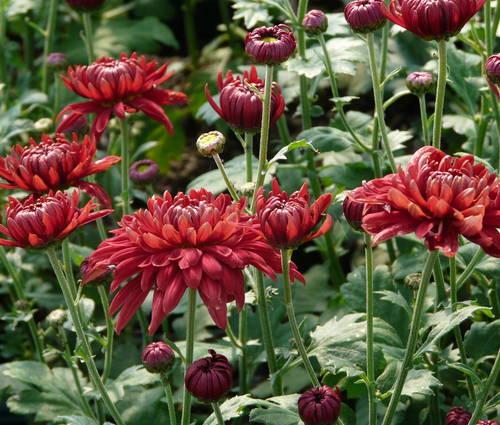 Produktbild Chrysanthemum Indicum-Hybride 'Schwabenstolz'