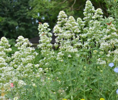 Produktbild Centranthus ruber 'Albus'