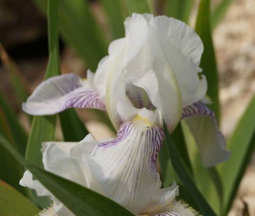 Produktbild Iris barbata-elatior 'K.H. Darwin'