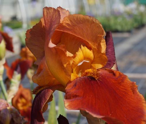 Produktbild Iris barbata-elatior 'Natchez Trace'