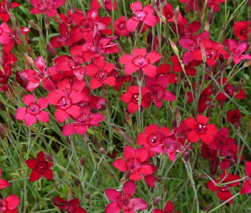 Produktbild Dianthus deltoides 'Leuchtfunk'