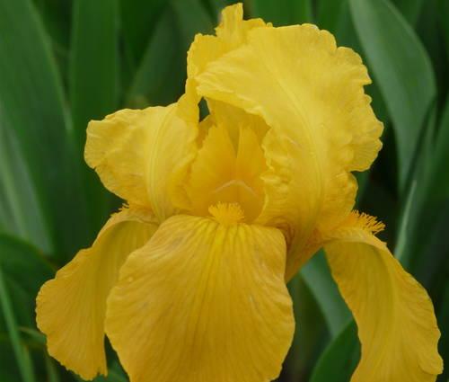 Produktbild Iris barbata-media 'Alaskan Gold'