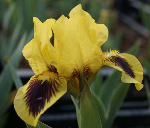 Produktbild Iris barbata-nana 'Hamburger Michel'