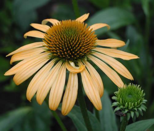 Produktbild Echinacea Hybride 'Harvest Moon' ®