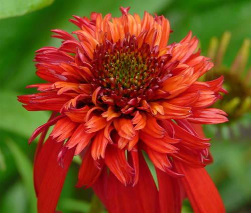Produktbild Echinacea Hybride 'Hot Papaya' ®