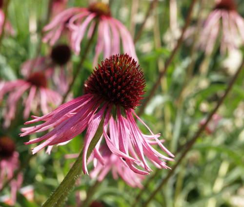 Produktbild Echinacea pallida