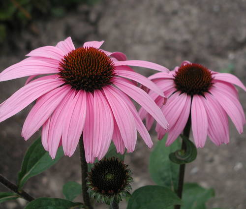 Produktbild Echinacea purpurea 'Augustkönigin'