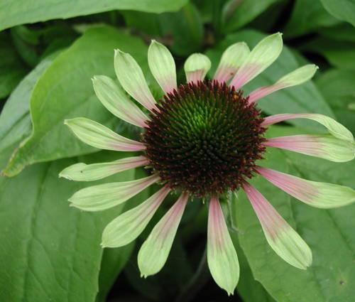 Produktbild Echinacea purpurea 'Green Envy' ®