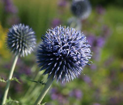 Produktbild Echinops bannaticus 'Taplow Blue'