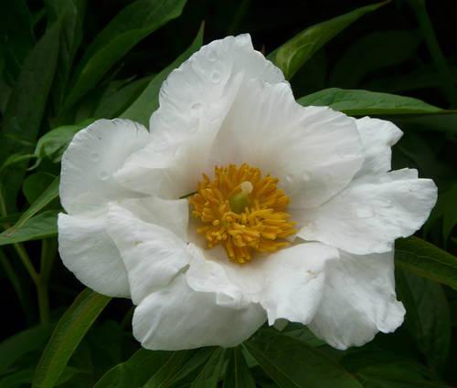 Produktbild Paeonia Hybride 'Late Windflower'
