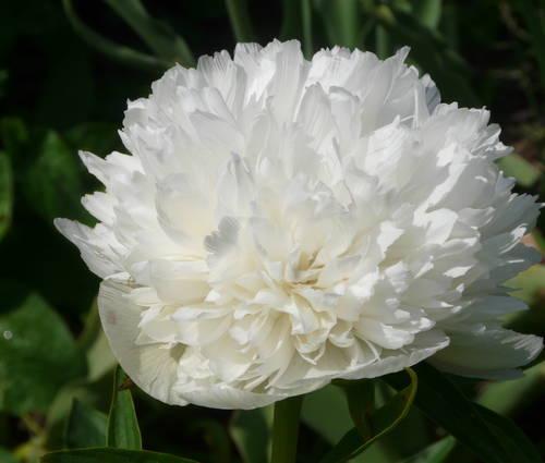 Produktbild Paeonia officinalis 'Alba Plena'