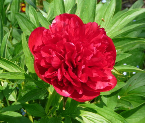 Produktbild Paeonia officinalis 'Rubra Plena'