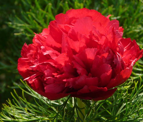 Produktbild Paeonia tenuifolia 'Plena'