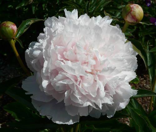 Produktbild Paeonia lactiflora 'Noemie Demay'