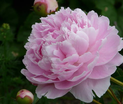 Produktbild Paeonia lactiflora 'Sarah Bernhardt'