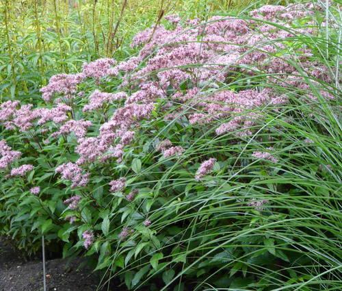Produktbild Eupatorium fistulosum 'Purple Bush'