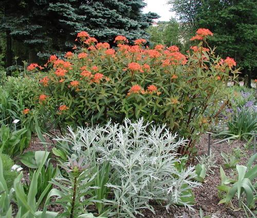 Produktbild Euphorbia griffithii 'Fireglow'