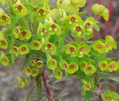 Produktbild Euphorbia x martinii