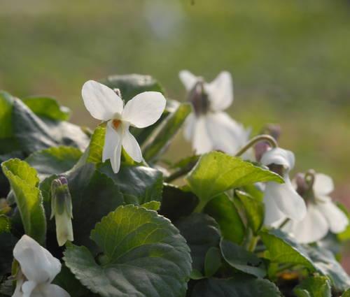 Produktbild Viola odorata 'Alba'