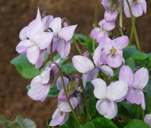 Produktbild Viola odorata 'Orchid Pink'