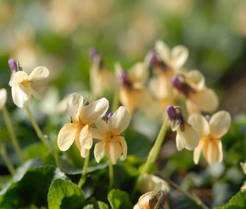 Produktbild Viola odorata 'Sulphurea'