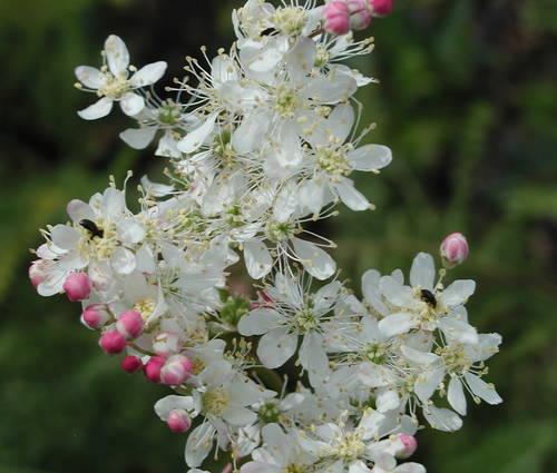 Produktbild Filipendula vulgaris