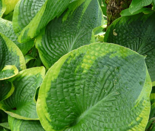 Produktbild Hosta sieboldiana 'Frances Williams'