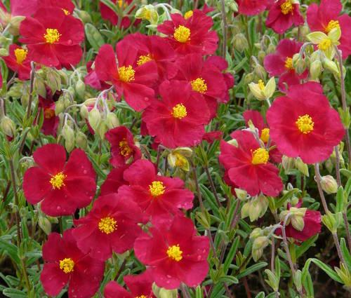 Produktbild Helianthemum Hybride 'Red Orient'