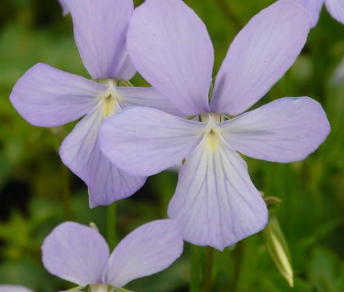 Produktbild Viola cornuta 'Boughton Blue'