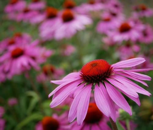 Produktbild Echinacea purpurea