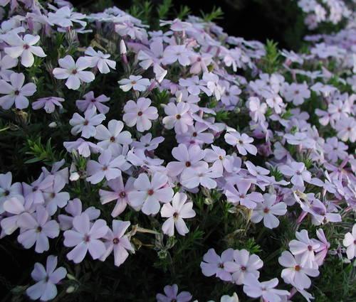 Produktbild Phlox douglasii 'Lilac Cloud'