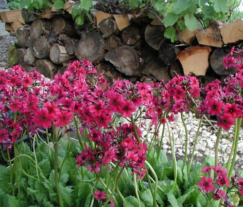 Produktbild Primula japonica 'Millers Crimson'